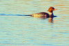 A Common Merganser taken Jan. 17, 2012 in Fruita, CO.