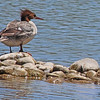 A Common Merganser taken May 19, 2010 near Fruita, CO.