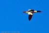 A Common Merganser taken Dec. 23, 2011 in Grand Junction, CO.