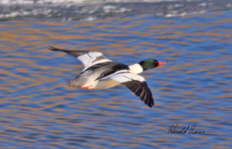 Common Merganser male duck taken in Fruita, CO on 14 Jan 2010.