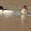Common Mergansers taken Mar. 9, 2011 near Fruita, CO.