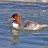 Common Merganser female taken in Fruita, CO on 8 Jan 2010.