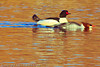 Common Mergansers taken Dec. 23, 2011 in Grand Junction, CO.
