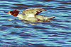 A Common Merganser taken Jan. 12, 2012 in  Fruita, CO.