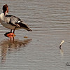 A Common Merganser  taken Mar. 15, 2011 in Fruita, CO.