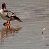 A Common Merganser  taken Mar. 15, 2011 in Fruita, CO.
