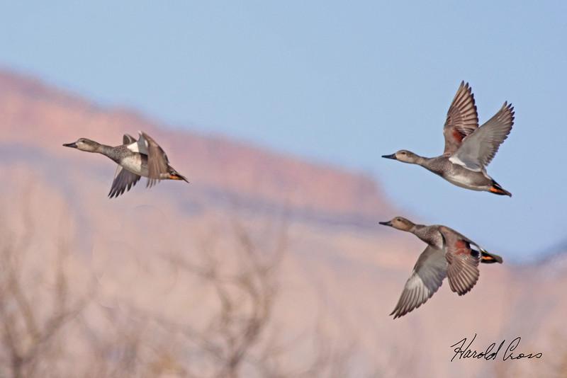 Gadwalls taken Feb 28, 2010 in Grand Junction, CO.