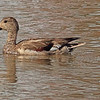 A Gadwall taken Mar. 30, 2011 in Grand Junction, CO.