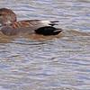 A Gadwall taken Apr 1, 2010 in Grand Junction, CO.