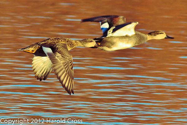 Gadwalls taken Jan. 24, 2012 in Grand Junction, CO.