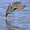 A Green-wing teal male taken in Grand Junction, CO on 15 Jan 2010.