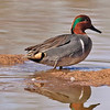 Green-winged Teal Duck taken in Gilbert, AZ on 14 Feb 2010.
