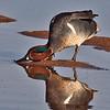 Green-winged Teal Duck taken in Gilbert, AZ on 14 Feb 2010.