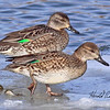 Green-wing teal females taken in Grand Junction, CO on 15 Jan 2010.