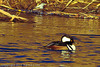 A Hooded Merganser taken Dec. 23, 2011 in Grand Junction, CO.
