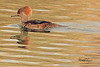 A Hooded Merganser taken Dec. 3, 2010 in Fruita, CO.