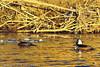 Hooded Mergansers taken Dec. 23, 2011 in Grand Junction, CO.