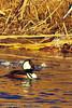 A Hooded Merganser taken Dec. 23, 2011 in Grand Junction, CO.