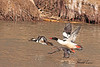 A pair of Hooded Mergansers with a male Common Merganser taken 28 Feb 2010 in Grand Junction, CO.