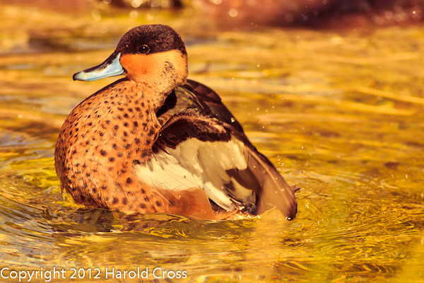A Hottentot Teal taken Feb. 20, 2012 in Tucson, AZ.