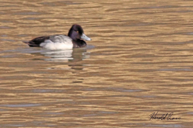 A Lesser Scaup male duck taken Feb 28, 2010 in Grand Junction, CO.