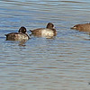 Lesser Scaups taken Nov. 4., 2010 in Grand Junction, CO.