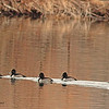 A group of Lesser Scaup taken Dec. 3, 2010 in Fruita, CO.