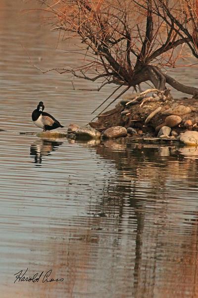 A Lesser Scaup taken Dec. 3, 2010 in Fruita, CO.