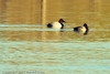 A Canvasback and a Lesser Scaup taken Nov. 3, 2011 near Fruita, CO.