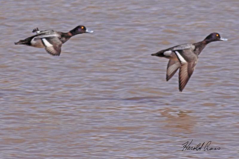 Lesser Scaup taken Mar 3, 2010 in Grand Junction, CO.