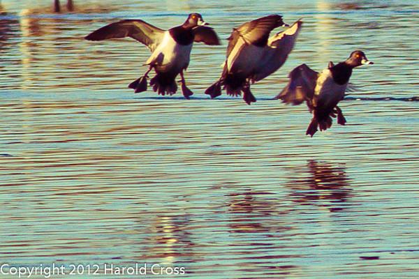 Lesser Scaups taken Jan. 17, 2012 in Fruita, CO.