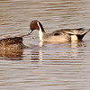 A pair of  Northern Pintails taken Feb 10, 2010 in Gilbert, AZ.