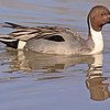 A Northern Pintail male taken Feb 11, 2010 in Gilbert, AZ.