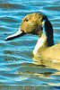 A Northern Pintail taken Nov. 2, 2011 near Soccorro, NM.