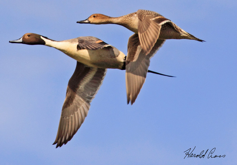 A pair of Northern Pintails taken Feb 4, 2010 in Gilbert, AZ.
