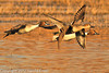 Northern Pintails taken Jan. 31, 2012 near Socorro, NM.