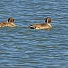 A Northern Pintail taken Oct. 27, 2010 near Fruita, CO.