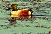 A Northern Shoveler taken Feb. 29, 2012 near Soccorro, NM.