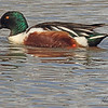 A Northern Shoveler taken Mar. 30, 2011 in Grand Junction, CO.