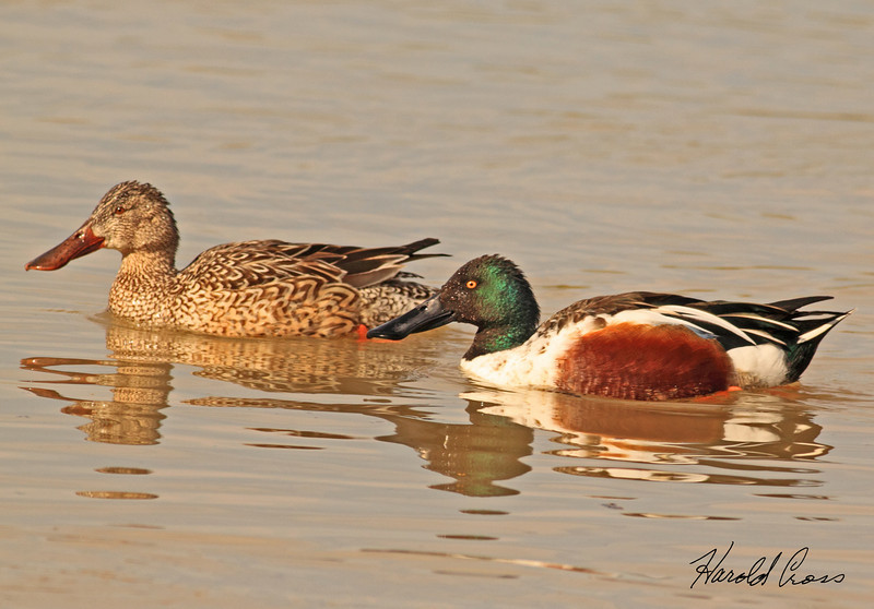 A pair of Northern Shovelers taken Feb 4, 2010 in Gilbert, AZ.