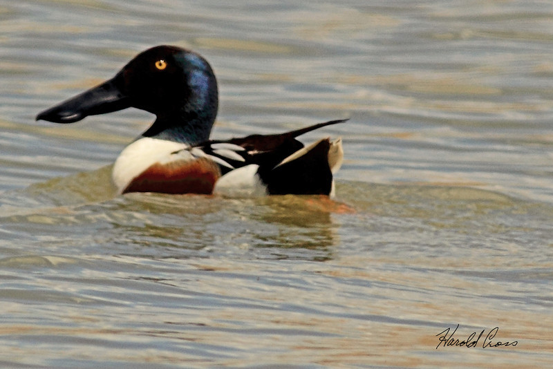 A Northern Shoveler taken May 2, 2011 near Fruita, CO.