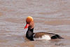 A Red-crested Pochard taken Mar 3, 2010 on Colorado River in Grand Junction, CO.