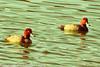 Redheads taken Feb. 29, 2012 near Wilcox, AZ.