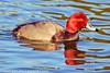 A Redhead taken Feb. 25, 2012 in Tucson, AZ.