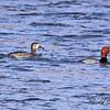 Redhead ducks taken in Grand Junction, CO on 15 Jan 2010.