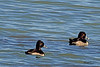 Ring-necked Ducks taken Oct. 27, 2010 near Fruita, CO.
