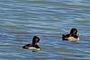Ring-necked Ducks taken Oct. 27, 2010 near Fruita, CO.