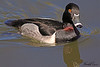 A Ring-neckd male duck taken Feb 13, 2010 in Gilbert, AZ.