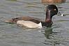 A Ring-necked male duck taken Feb 4, 2010 in Gilbert, AZ.