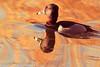 A  Ring-necked Duck taken Feb. 15, 2012 in Tucson, AZ.